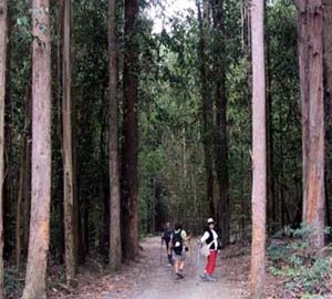 eucaliptus1-450-mC