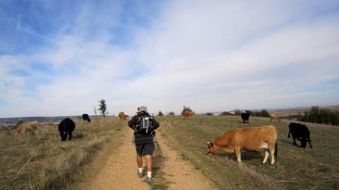 Los peregrino con valentia, pasan entre el ganado vacuno
